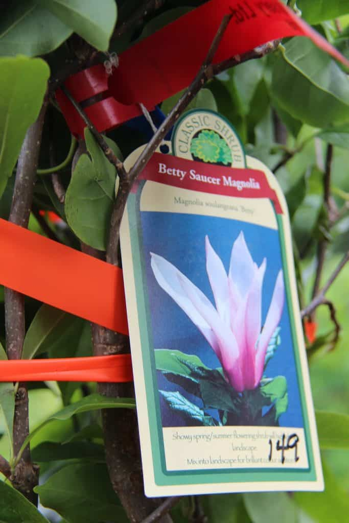Tag on Betty Saucer Magnolia at Plant Store
