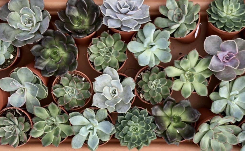 Tender succulents can be potted up and brought indoors as houseplants for the winter months