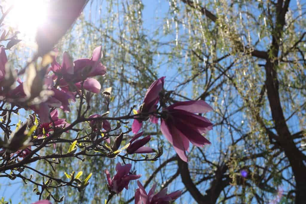 The first spring blossoms in the afternoon sun by the willow tree