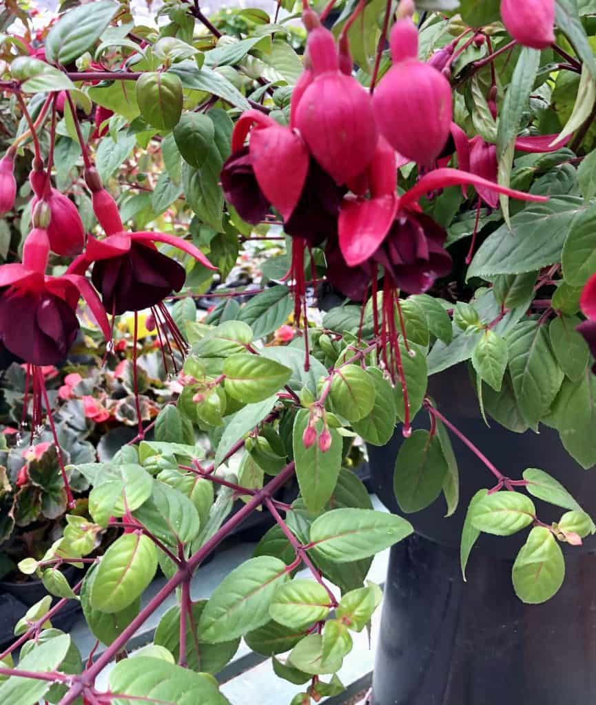 Trailing pink and purple Fuchsia flowers hanging from planter