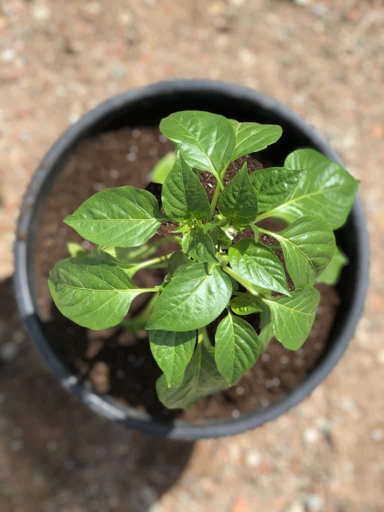 bell pepper plant's leaves from above in black planter pot