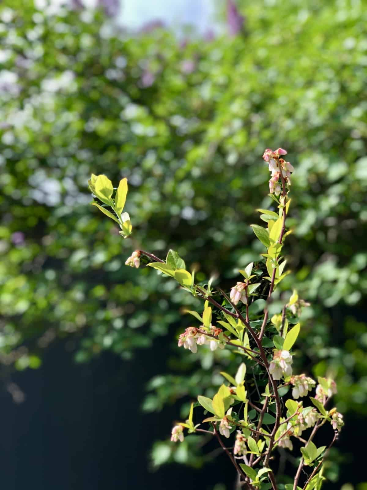 Companion Plants for Blueberries