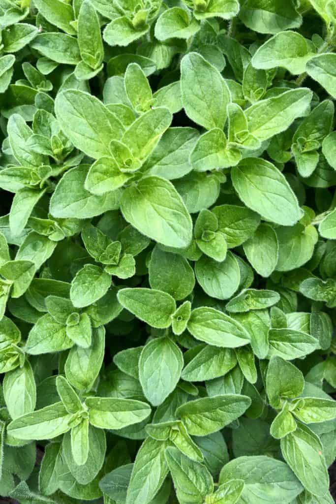 oregano leaves - plant photosynthesis process - plant biology