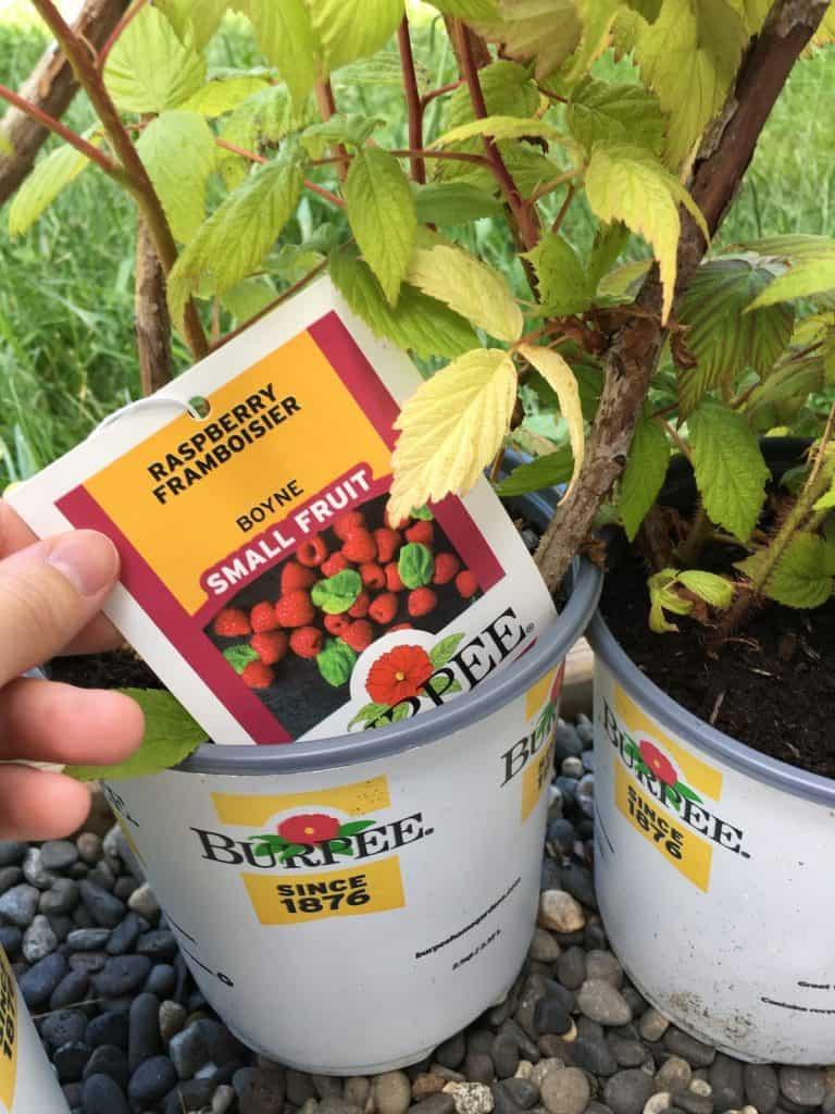Boyne Raspberry plant - burpee
