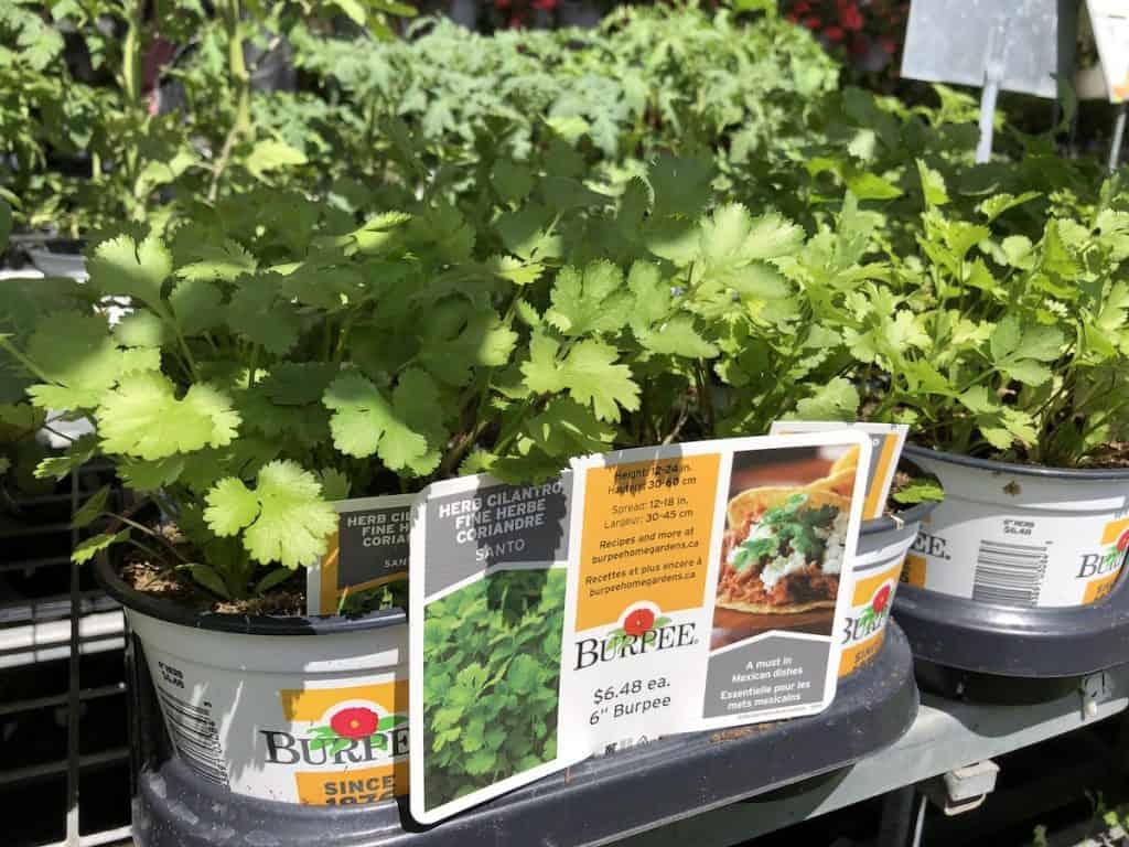 Burpee cilantro plants at the nursery