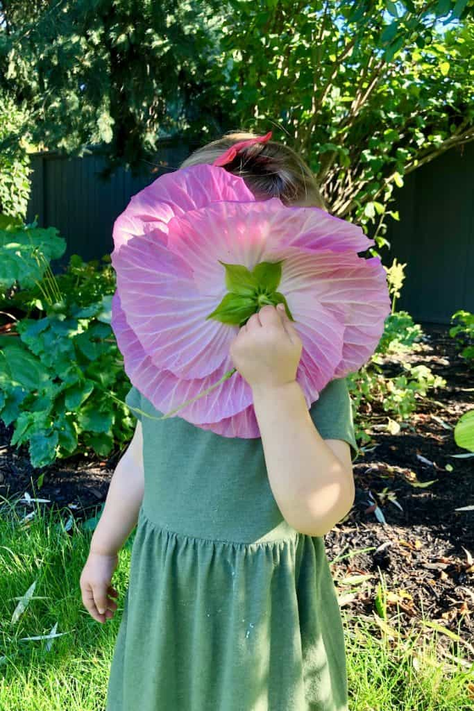 Child holding pink dinner plate hibiscus flower up to smell scent in garden