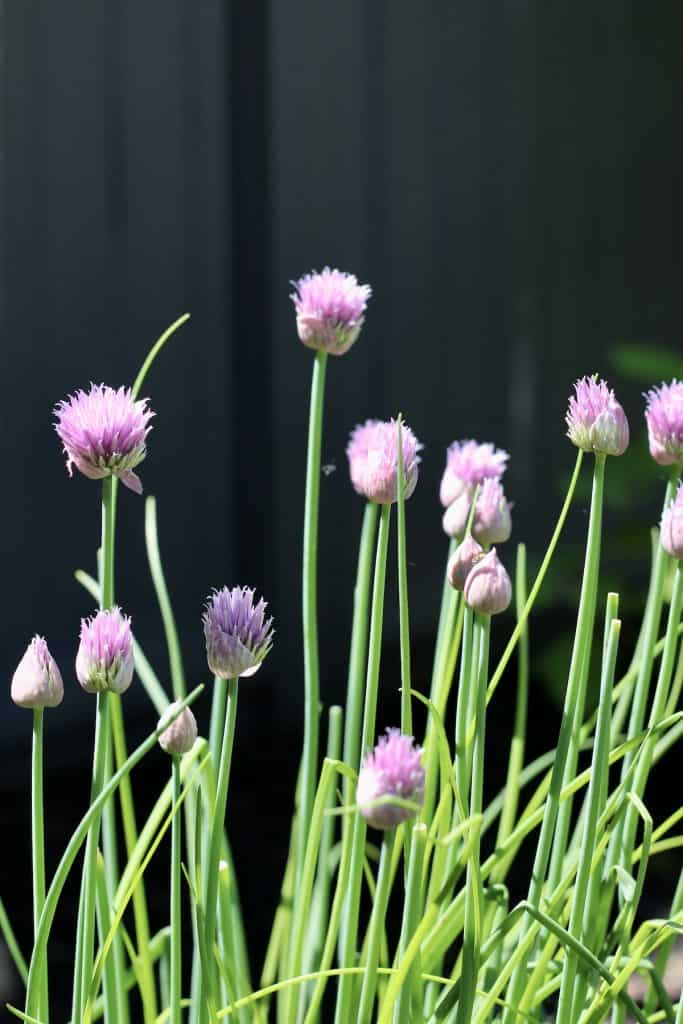 Chives - Culinary Herb in Chef's Garden