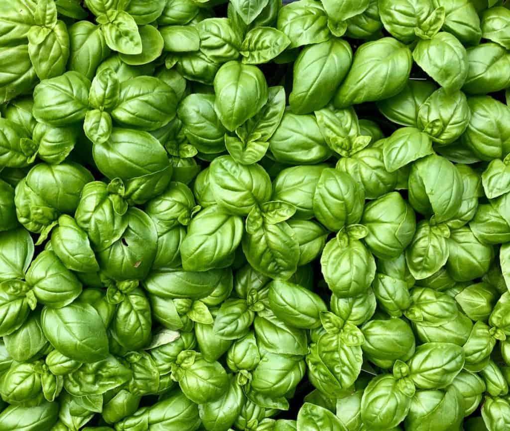 Culinary Herbs - Fresh Basil Leaves