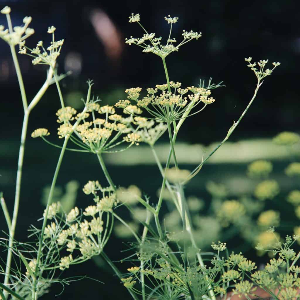 Dill leaves and flowers in kitchen herb garden