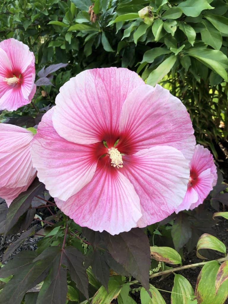 Dinner Plate Hibiscus flower with dark foliage in the garden