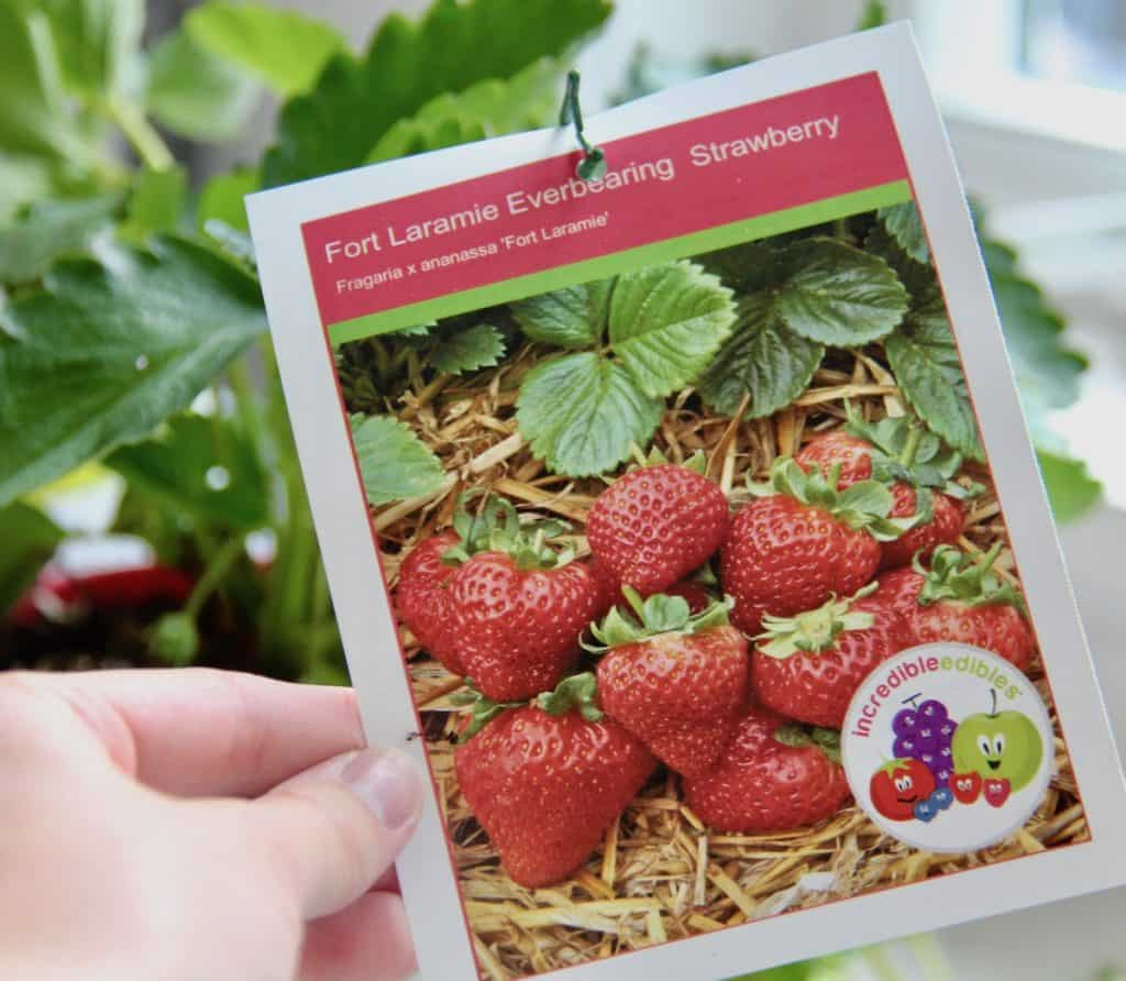 Everbearing strawberries for a strawberry pot planter on the patio