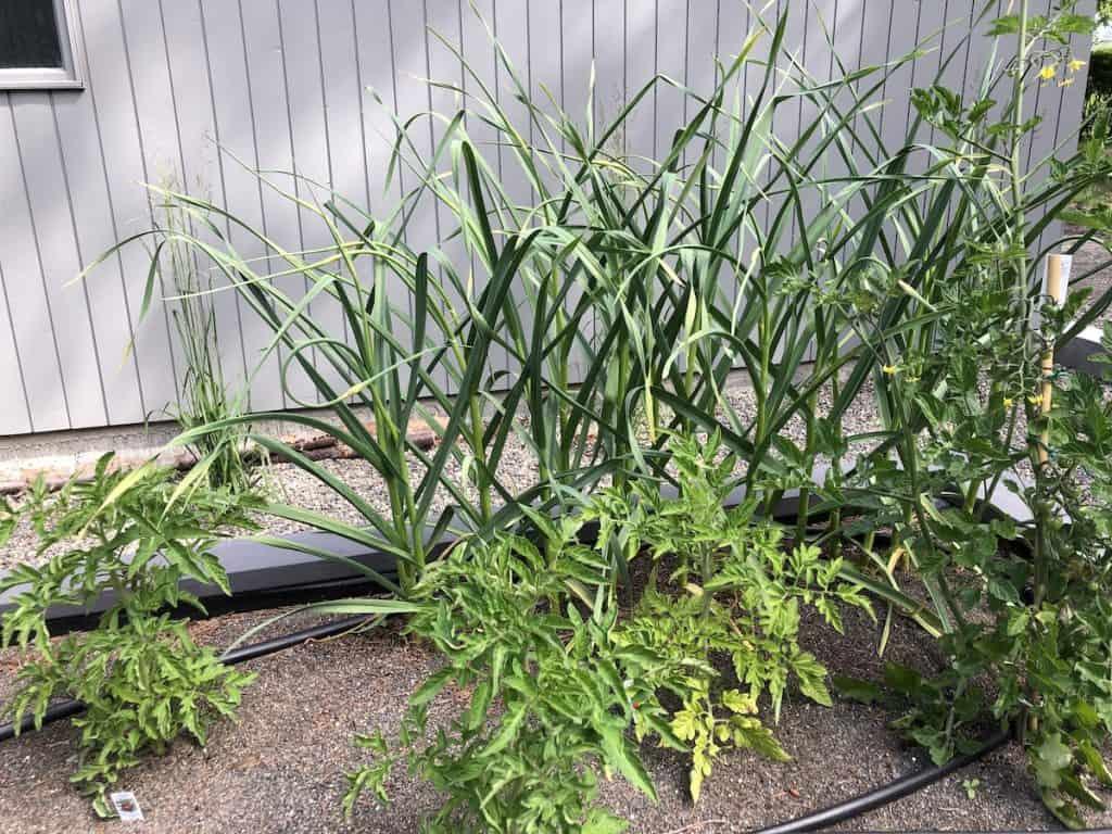 Food Garden - Tomatoes, Garlic, Greens in Raised Bed Behind House