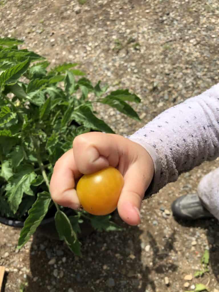 Gardening Activities for Preschoolers - Harvesting Tomatoes from the Garden