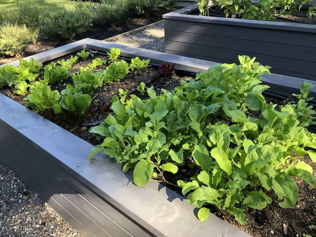 Green lettuce growing in a backyard raised bed