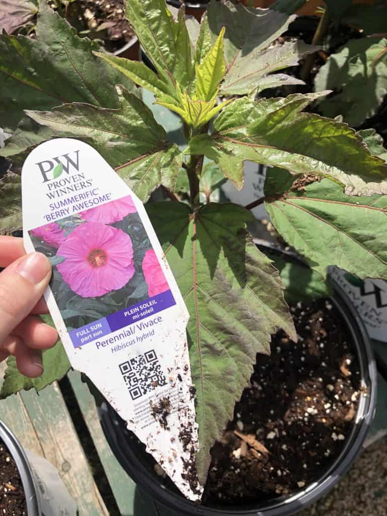 Hardy Hibiscus - berry awesome - summerific - at nursery