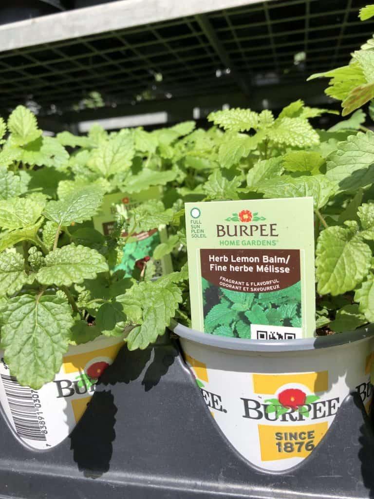 Lemon balm herb plants for sale at plant nursery