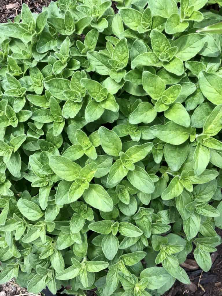 Oregano Leaves in Culinary Potager Kitchen Garden