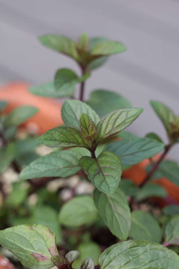 Peppermint grown in tabletop terra cotta container