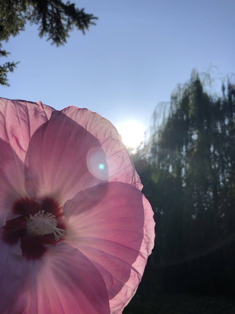 Pink flower at dusk in front of weeping willow