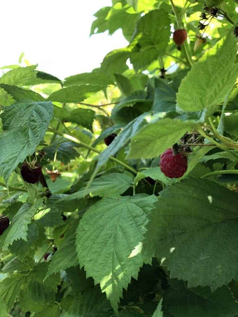 Raspberries growing on shady side of trellis