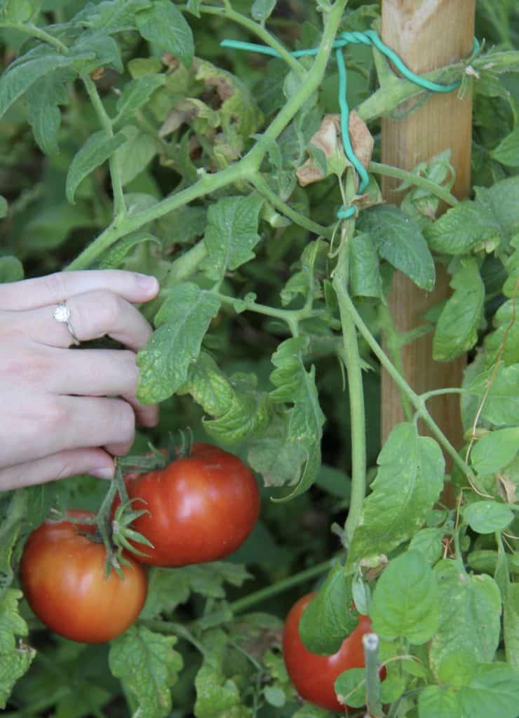 Stake Tomatoes