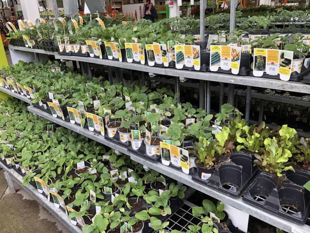Summer veggie plant seedlings at nursery