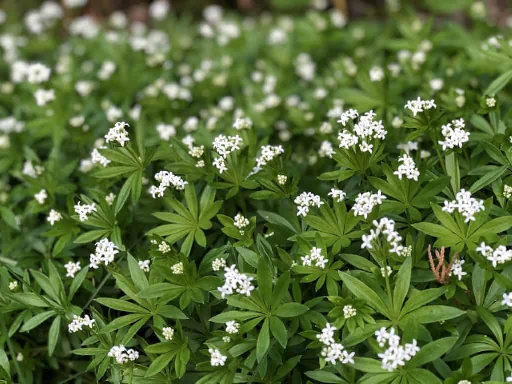 Sweet Woodruff - Galium odoratum - shade groundcover for woodland garden