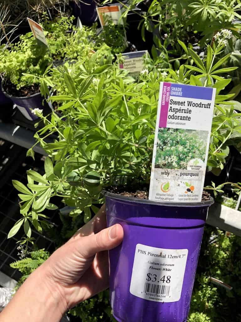 Sweet woodruff plant at the garden center in purple pot
