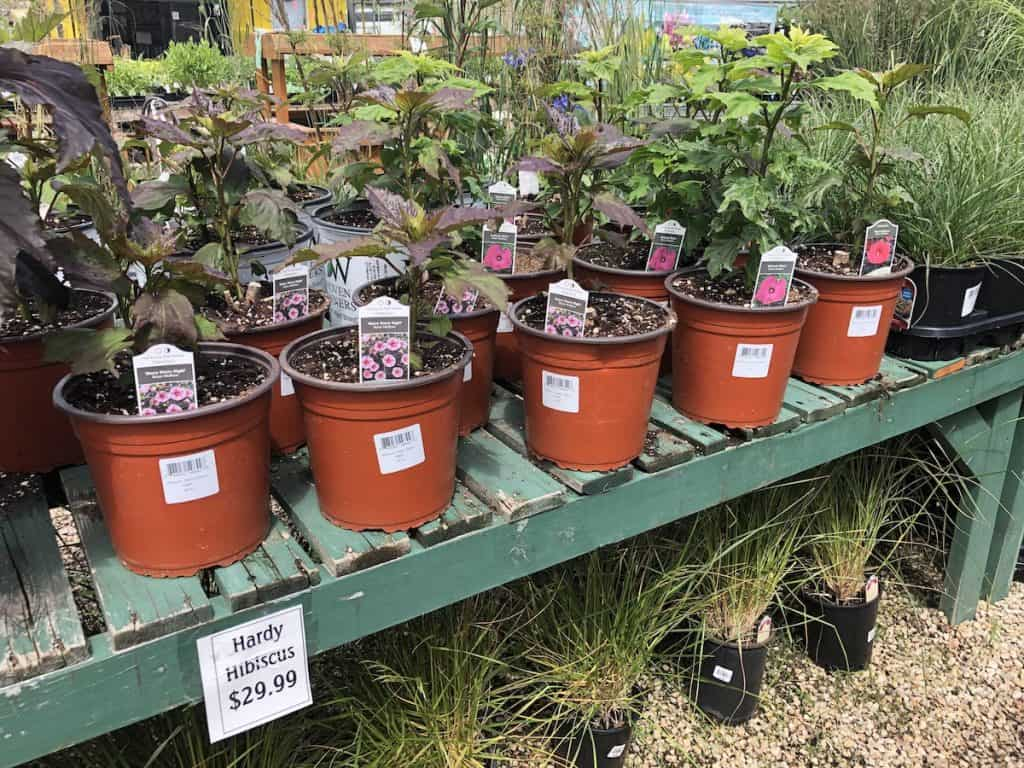 Table of hardy hibiscus plants for $30 each at plant nursery