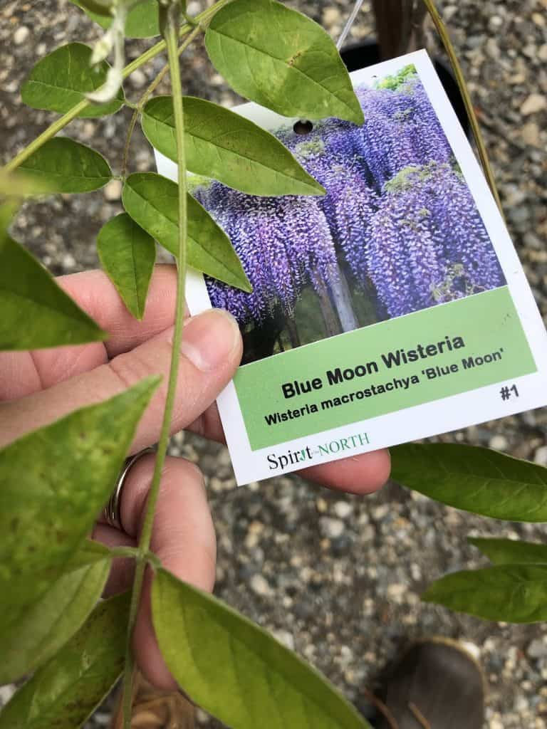 Tag for blue moon wisteria - kentucky wisteria macrostachya