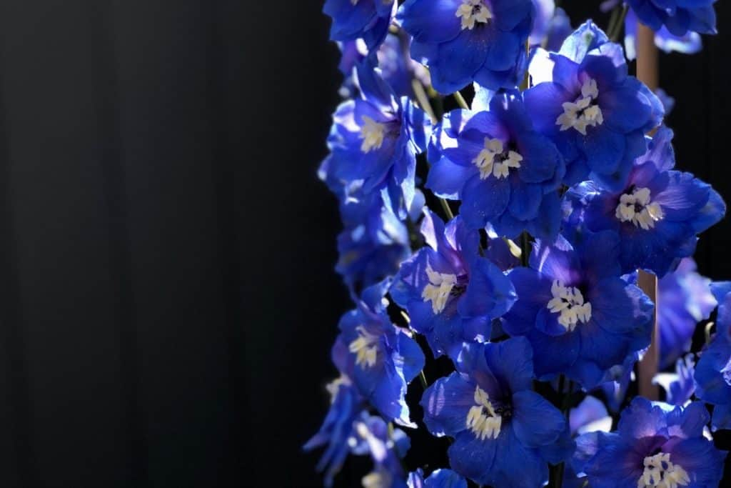 blue delphinium - close up of flowers