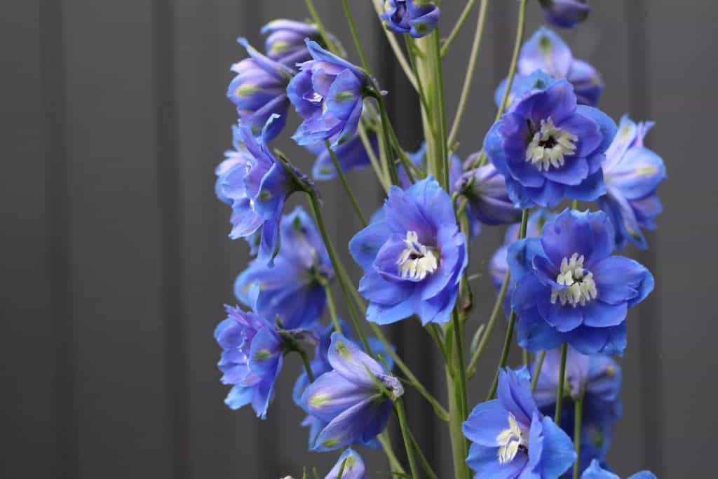blue delphinium in bloom