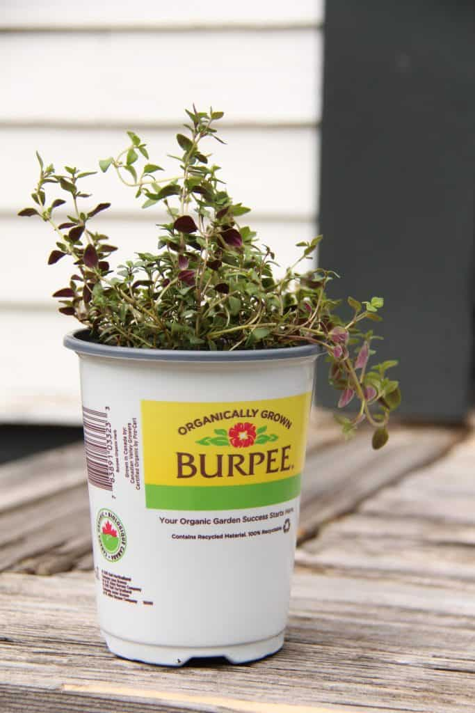 culinary herb thyme in planter pot - organically grown