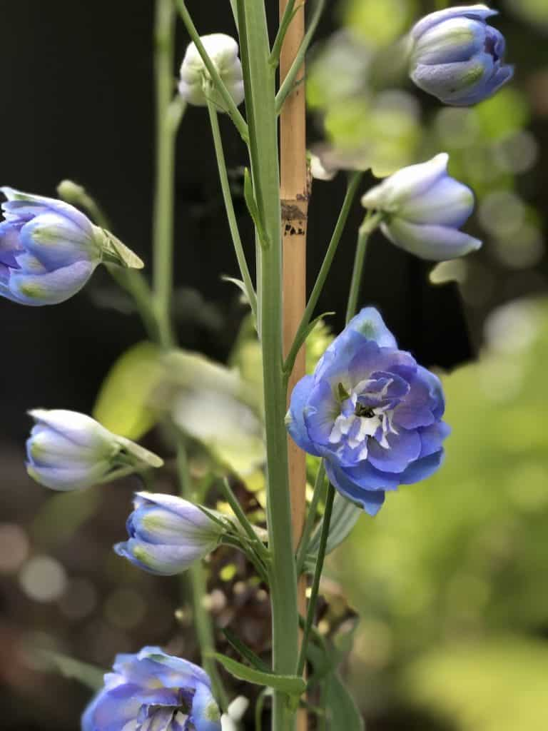 delphinium 'million dollar sky'