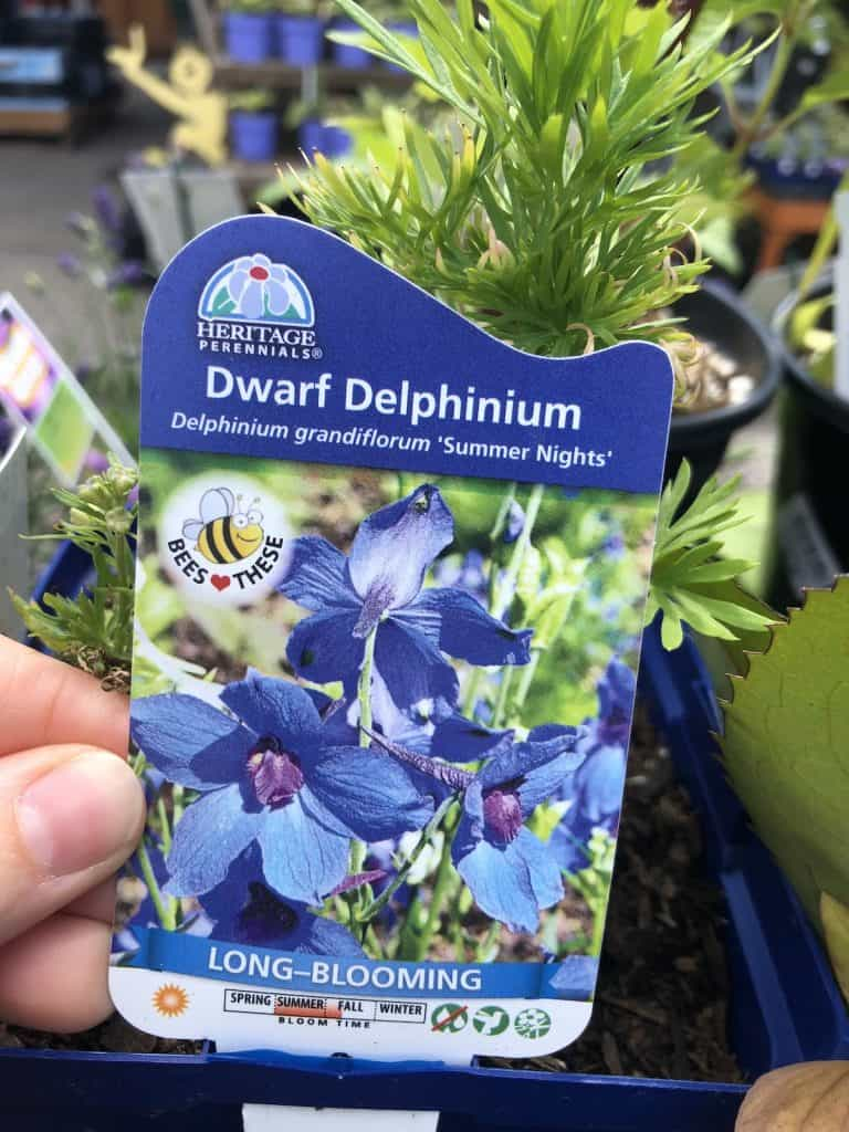 dwarf blue delphinium - summer nights