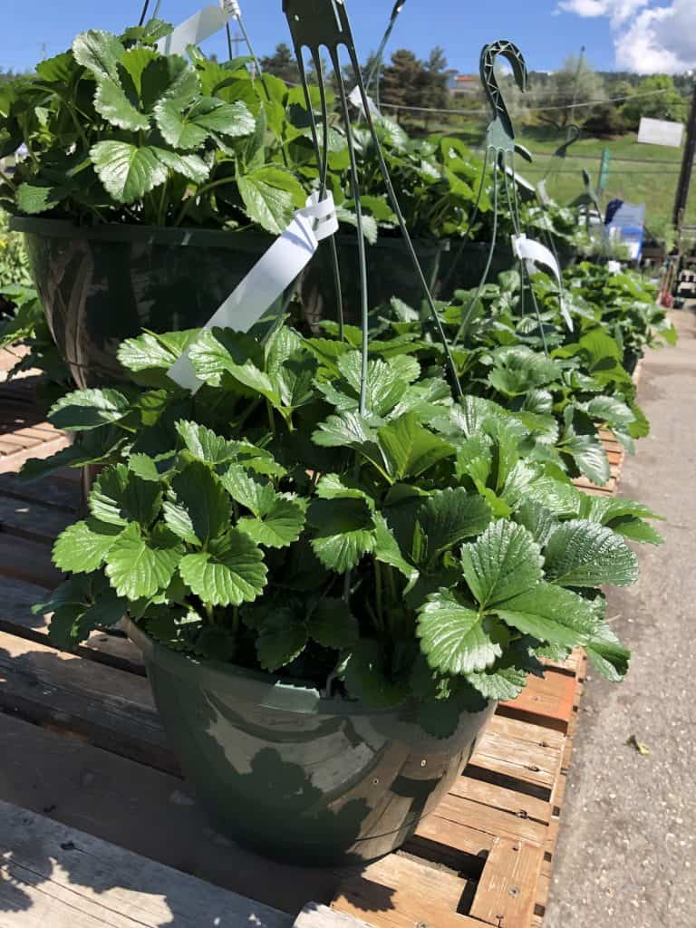 hanging baskets full of strawberry plants at plant nursery
