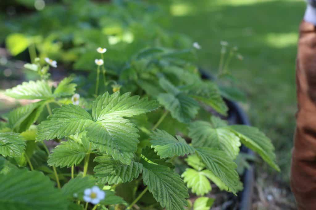 kids strawberry plants in sensory garden
