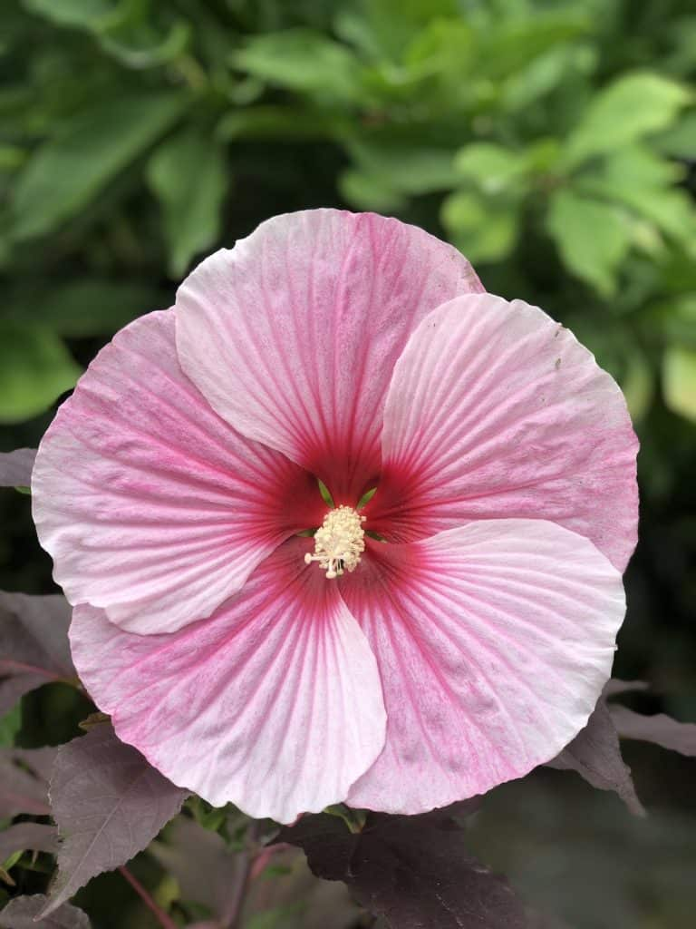 dinner plate hibiscus - pink, white, and red hardy hibiscus