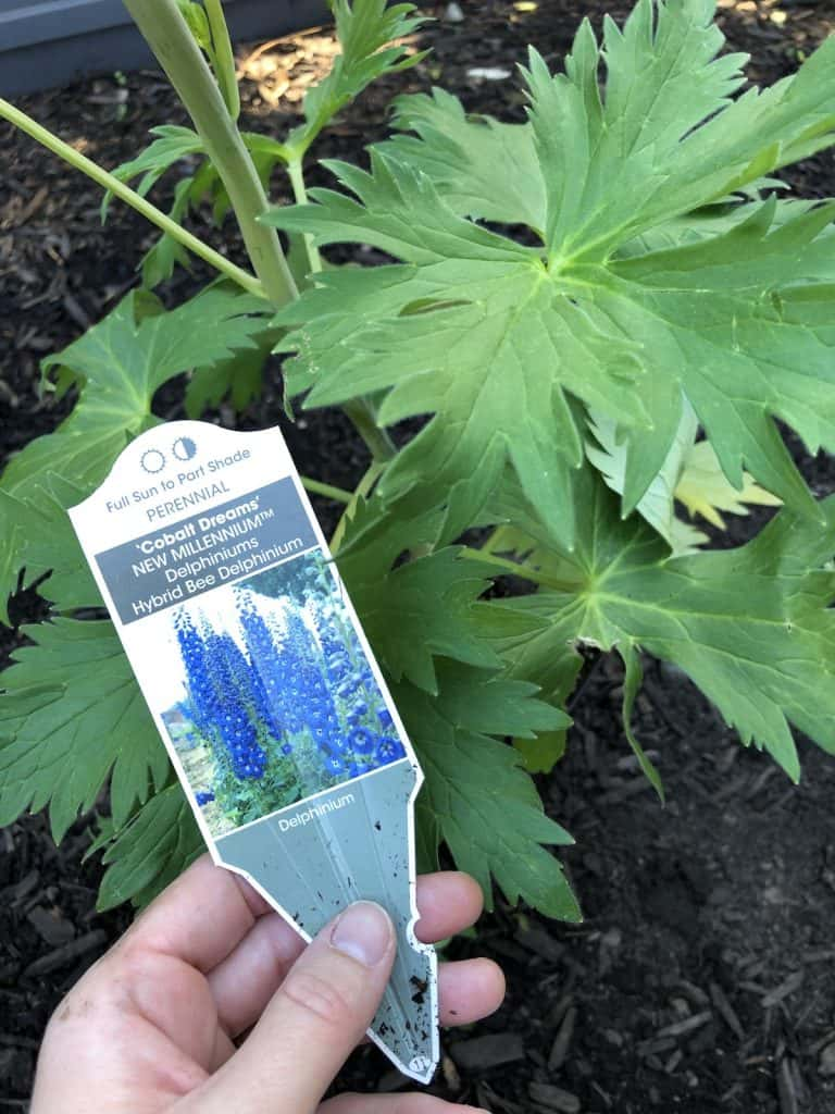 planting a blue delphinium in the cottage border garden