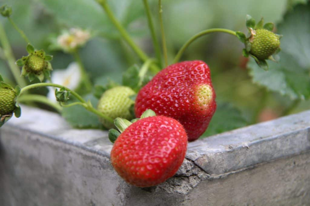 ripe red strawberries growing in a concrete strawberry planter
