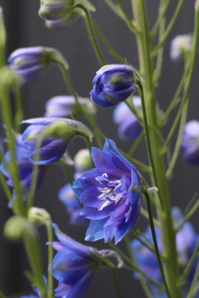 stunning blue delphiniums