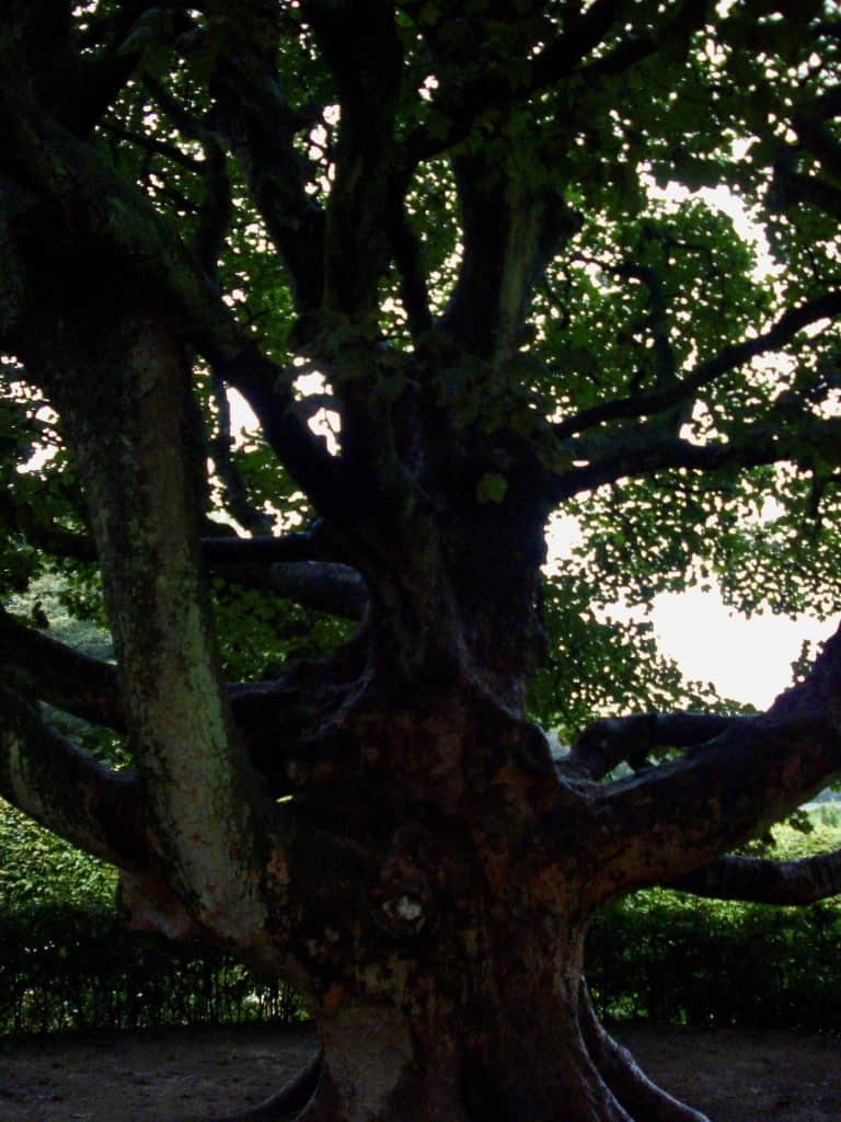 Ancient tree in Britain - Northumberland