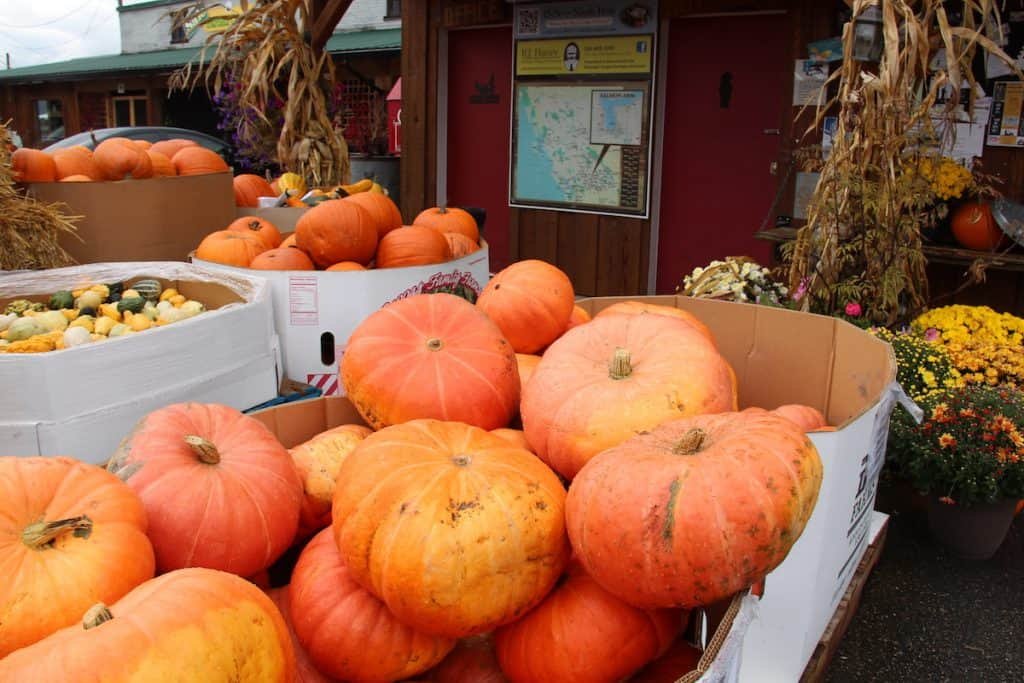 Cinderella Pumpkins for sale in the fall in a large bin
