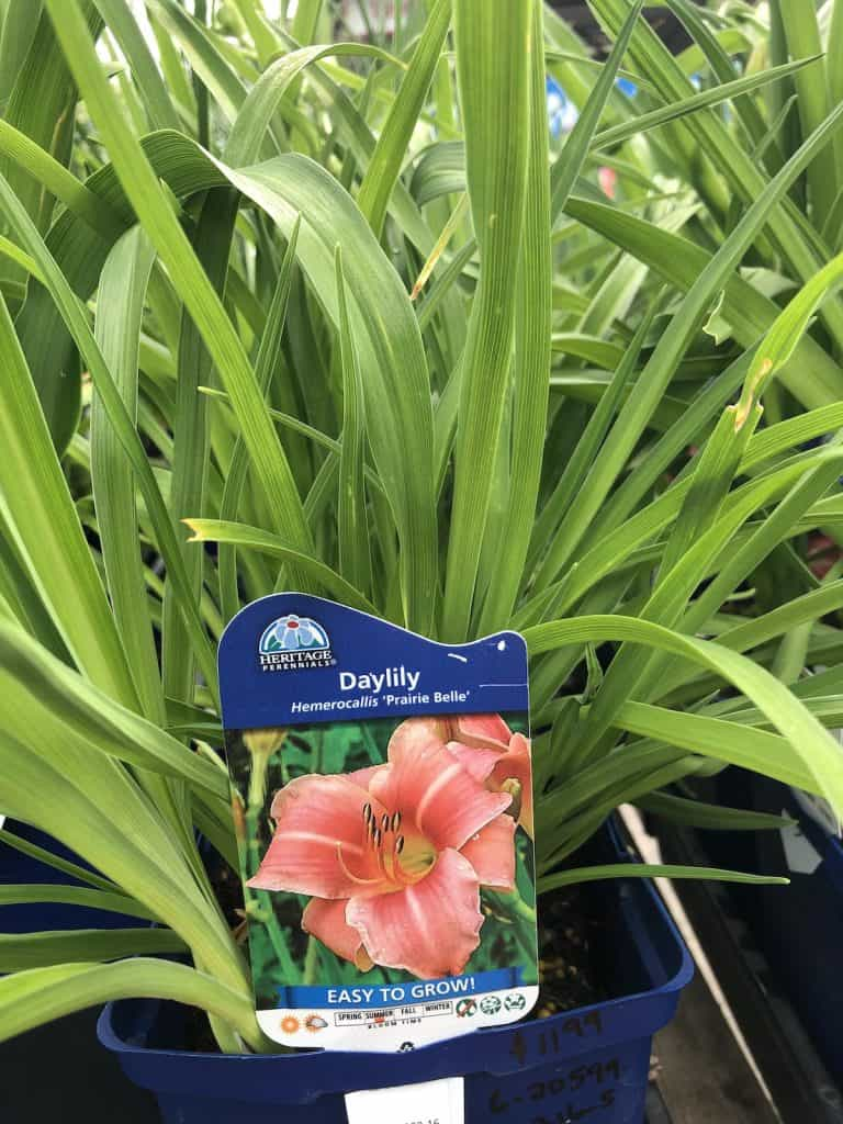 Daylily - Hemerocallis - Prarie Belle