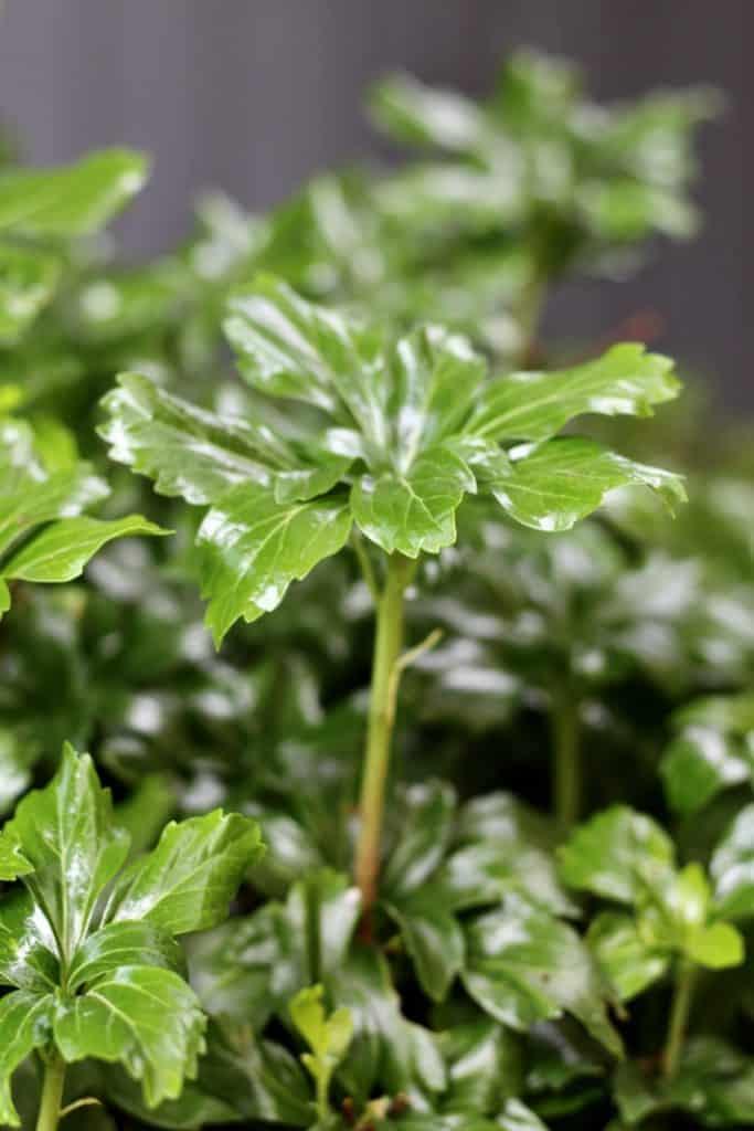 Evergreen Leaves of Japanese Spurge in Shade Garden