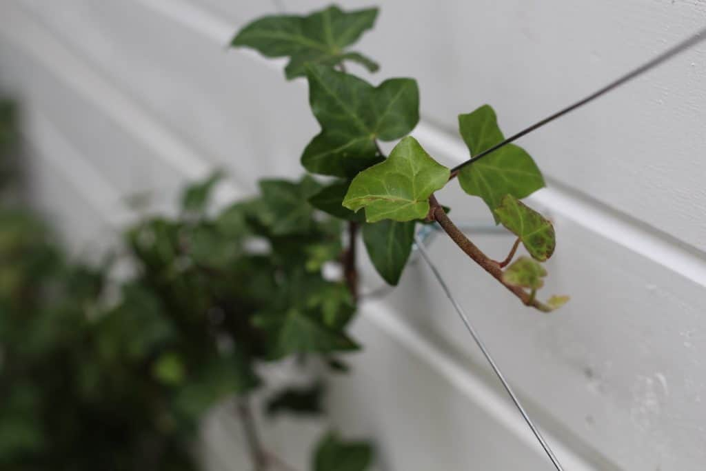Ivy growing up wire trellis