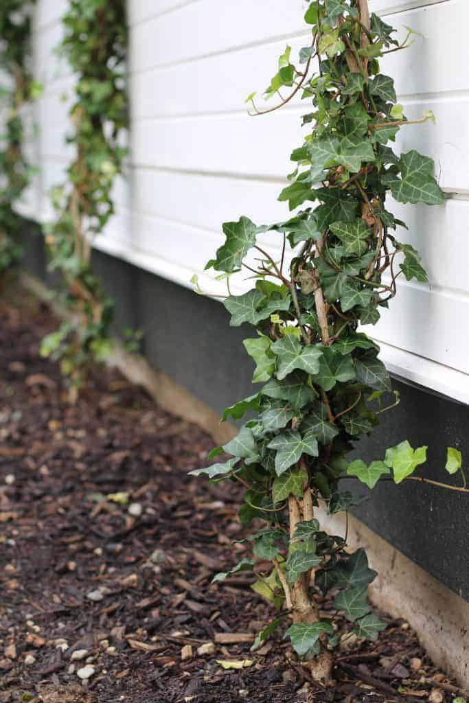 Ivy planted up against a wall