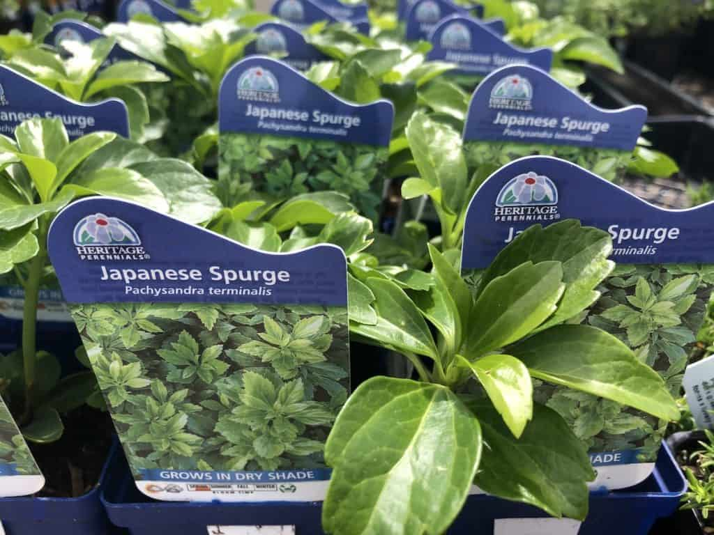 Japanese Spurge - Pachysandra - Landscapers Flat