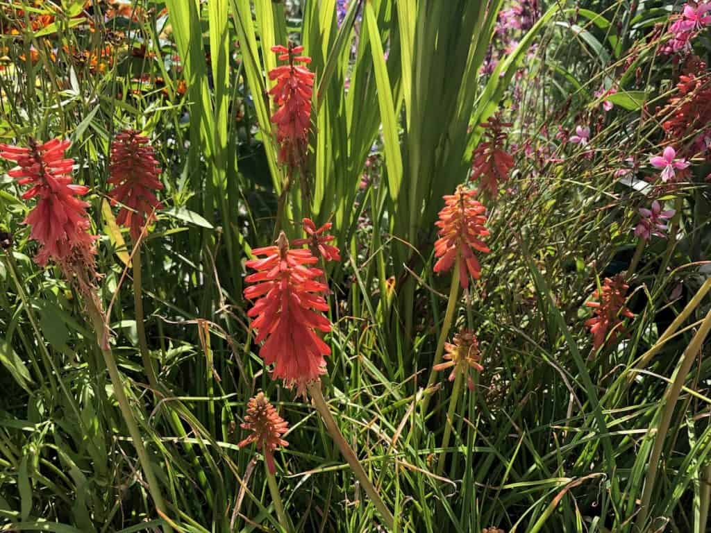 Kniphofia Redhot Popsicle - Red Hot Poker, Torch Lily