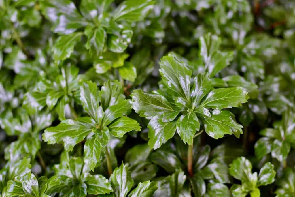 Pachysandra - close up of green leaves of plant